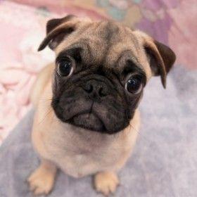 Cute Baby Pug