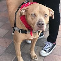 Lake Forest, California - American Staffordshire Terrier. Meet Coco NEEDS A FOSTER -COURTESY POST, a for adoption. https://www.adoptapet.com/pet/20550517-lake-forest-california-american-staffordshire-terrier