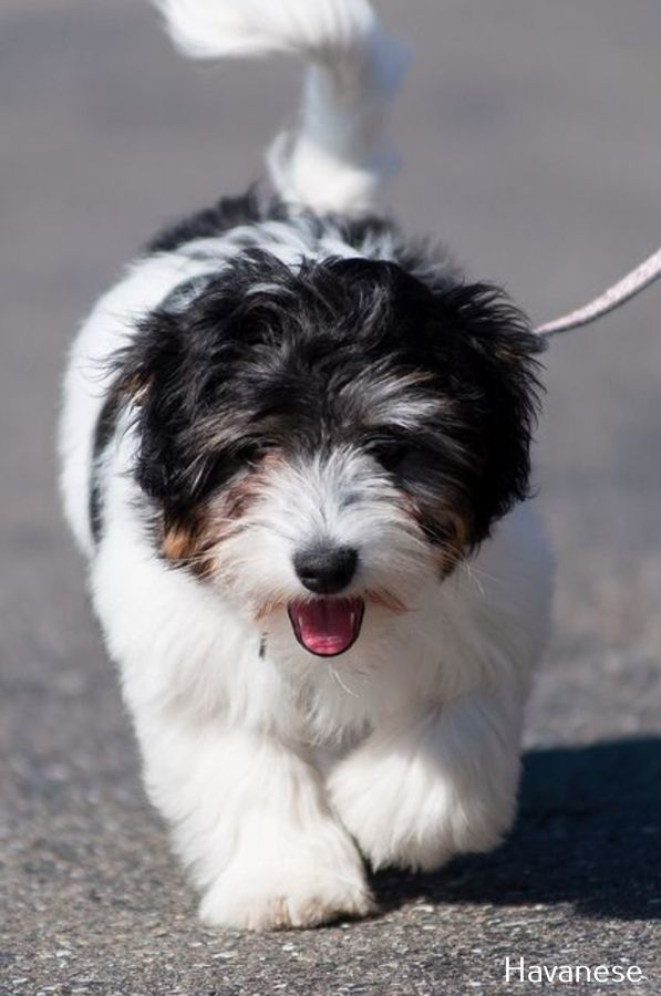 Havanese Intelligent And Funny In 2020 Havanese Puppies Puppies Coton De Tulear
