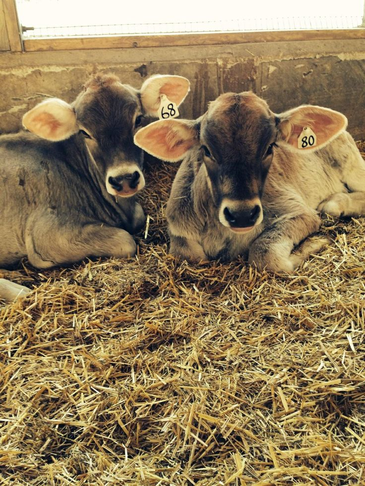 Brown swiss baby cow