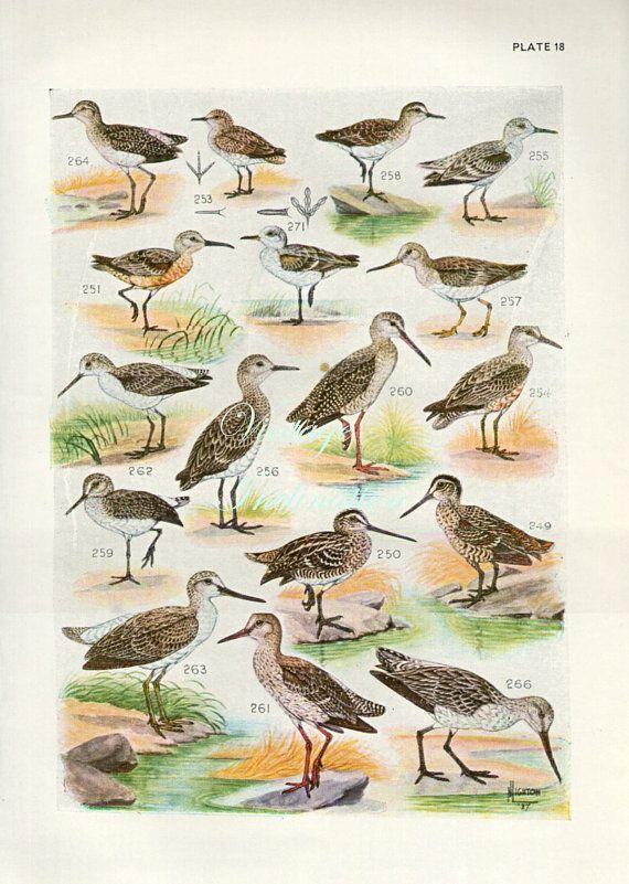 Piume di uccello illustrazione di storia naturale antico di vintage 1940 Bird stampa 18