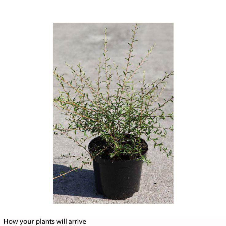 Buddleja alternifolia (Large Plant) - Large Potted Plants - Thompson & Morgan