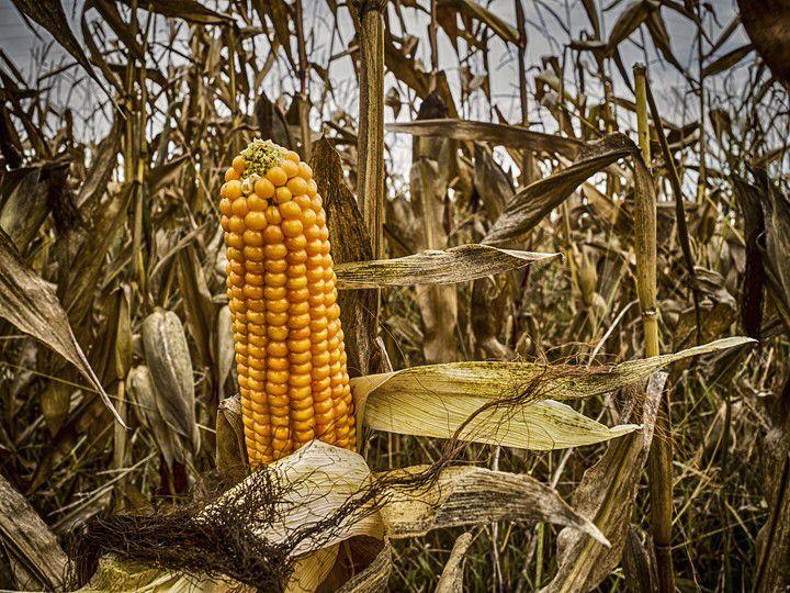 """Foto """"Ear Of Maize"""" von Johan Neven  #OGQ"""