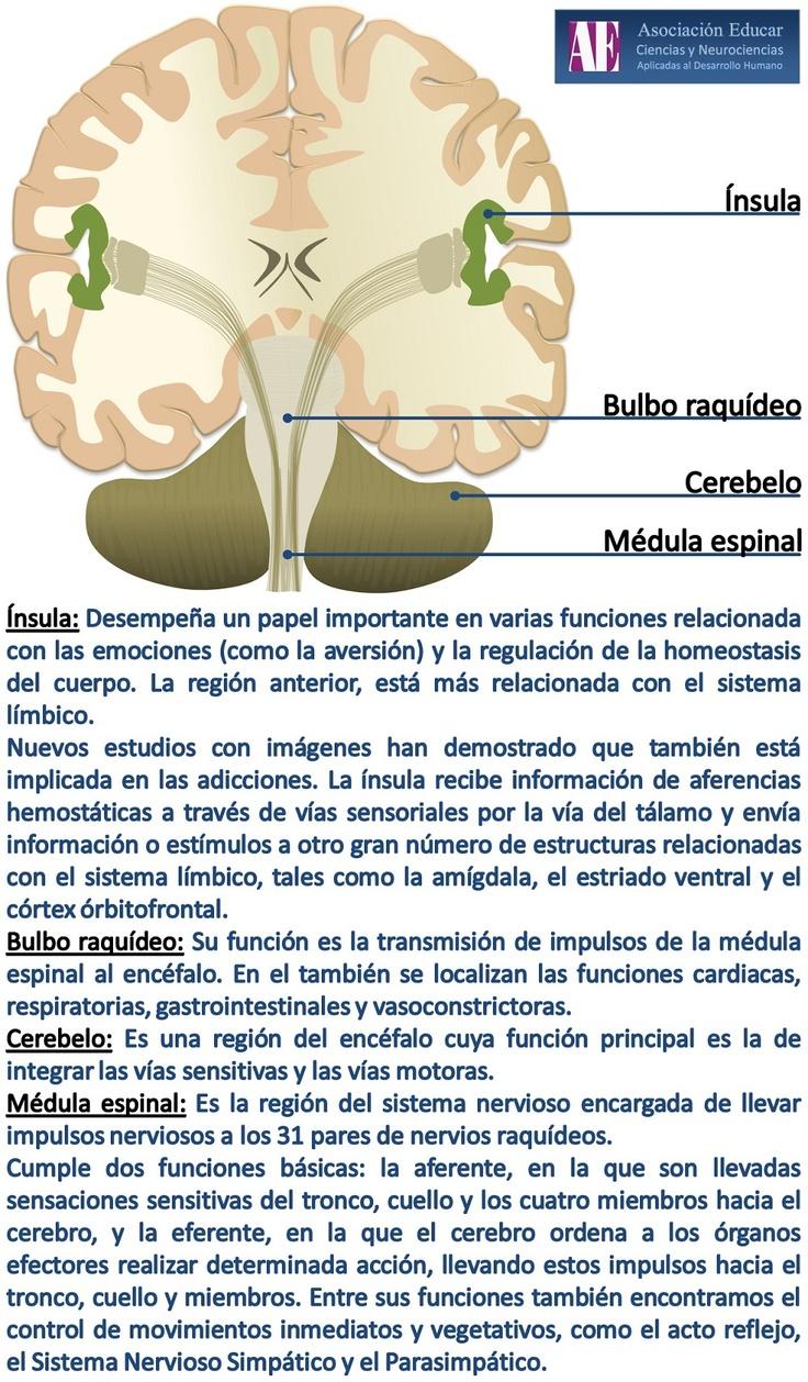 Ilustracion Neurociencias: Ínsula, bulbo raquídeo, cerebelo, médula espinal - Asociación Educar Ciencias y Neurociencias aplicadas al Desarrollo Humano www.asociacioneducar.com