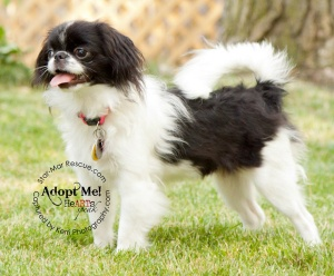 Upsy Daisy is an adoptable Japanese Chin Dog in Wooster, OH. My oh my, Upsey Daisy rolled into rescue and stole even the hardest of hearts. She is a 7 pound, purebred Japanese Chin who will be six mon...
