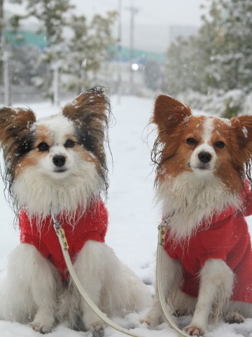 Papillons in the snow