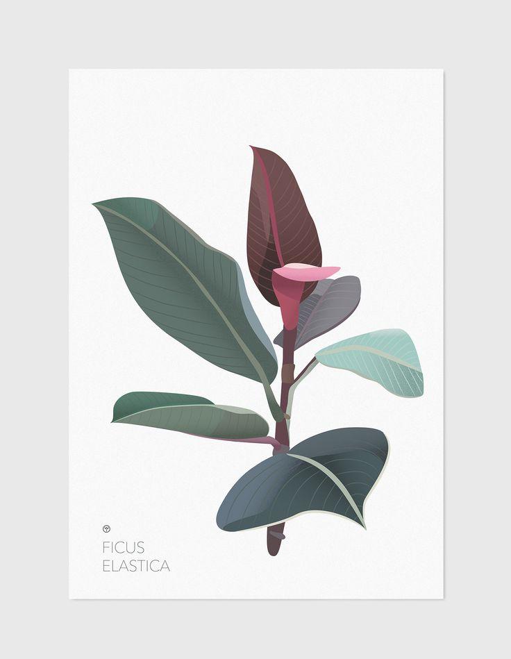 Ficus Elastica plakat