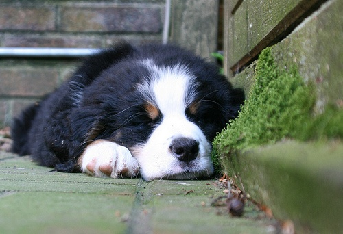 burmese mountain dog <3