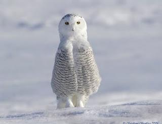 }{     snow owl