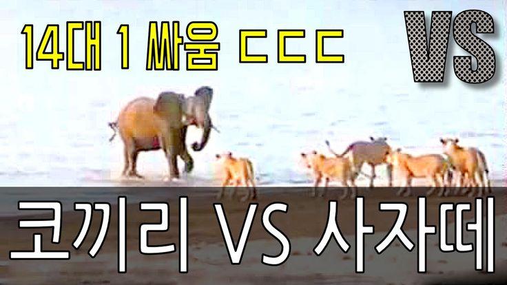 코끼리 VS 사자 1대 14의 동물 싸움 영상