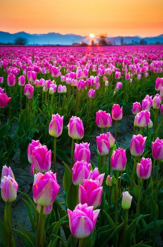 Spring Pictures - Spring Images - Spring Flowers in Skagit Valley Washington Dawn, USA.