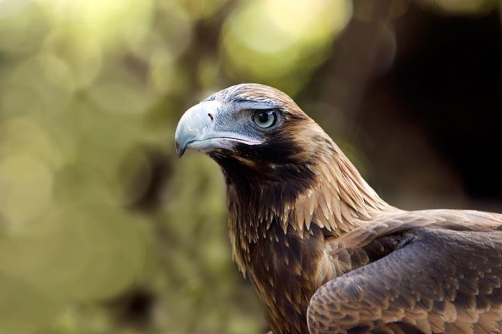 Wedgetail Eagle