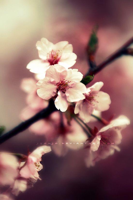 more cherry blossom  never enough