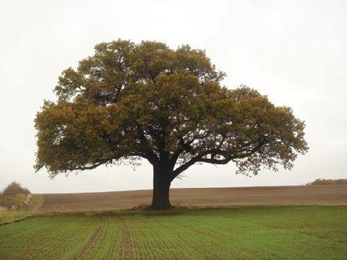 Гороскоп друидов дерево Дуб     Зодиак кельтов. Люди рожденные под знаком Дуба 21 марта в день весеннего равноденствия