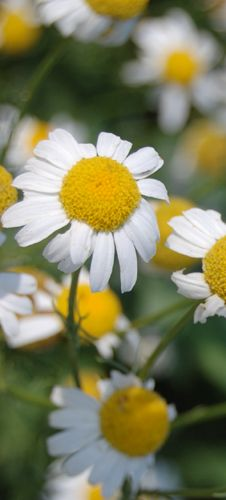 Chamomile is anti-inflammatory, antibacterial, antifungal, antiseptic... and an all-round beautiful herb! Have you ever used it in your skincare? Read more at www.herbhedgerow.co.uk