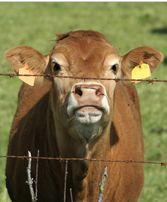 AIRLIFE te pregunta ¿sabes que es la Fiebre de Queensland? fue descubierta e identificada entre los ganaderos y productores de leche de Queensland, Australia. Esta fiebre es provocada por un microorganismo que infecta el ganado y luego se disemina en la leche y en las heces y por el aire . Los síntomas para el hombre, incluyen fiebre, escalofríos y dolores musculares.
