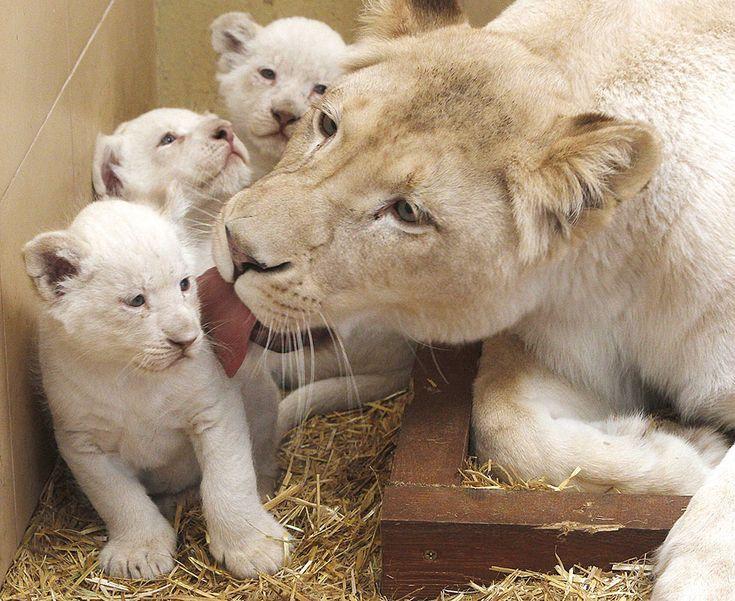 Leoni bianchi