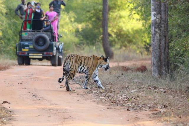 Bandhavgarh Tiger Safari>>Bandhavgarh National Park is located in Umaria, Madhya Pradesh covering an area of 450 sq. kms.The park consists of a huge population of leopards and varied species of deer along with breathtaking flora and fauna. #Bandhavgarh #BandhavgarhTigerSafari #TigerSafari #WildLifeSafari #WildlifeTours