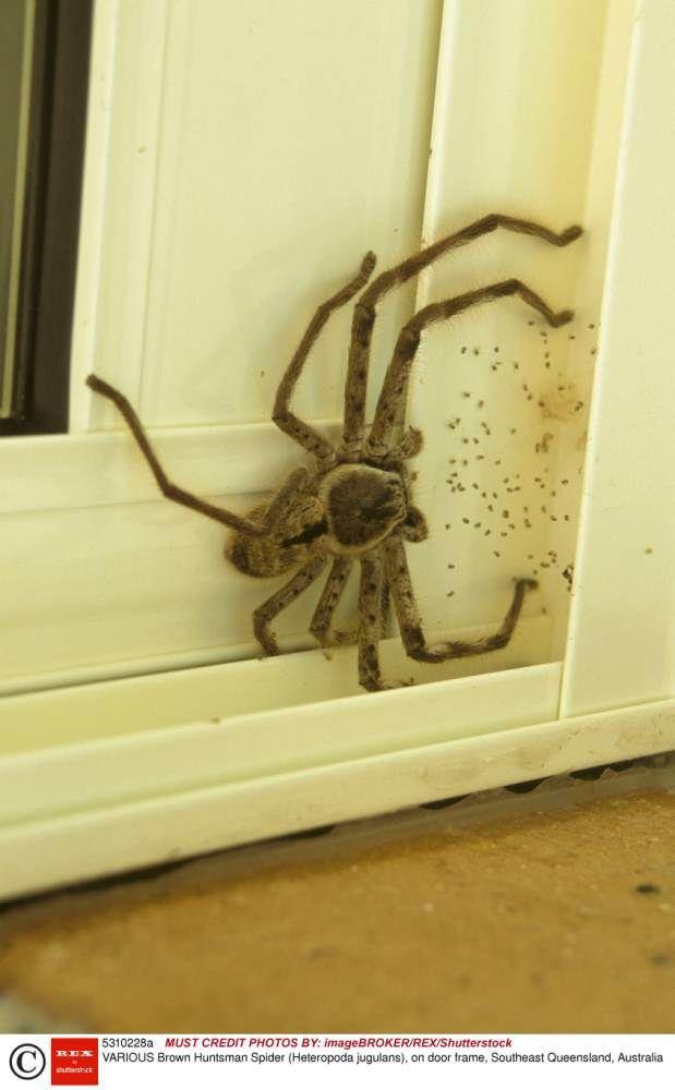 Mandatory Credit: Photo by Neil Bowman/FLPA/imageBROKER/REX/Shutterstock (5310228a).. Brown Huntsman Spider (Heteropoda jugulans), on door frame, Southeast Queensland, Australia.. VARIOUS.. ..