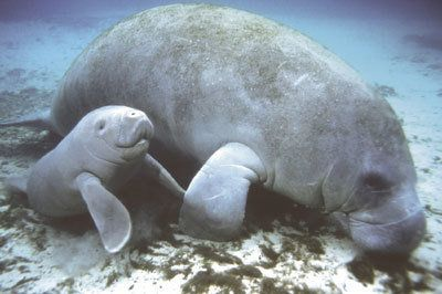 """According to savethesea.org over 75 manatees on average are killed each year, and many more are injured or deformed. Mortality rates have been climbing, up to 200 per year. The manatee population has been rapidly declining, and has now been placed on the endangered species list."""" Click for details and please SIGN and share petition to help protect Florida manatees by enforcing the use of propeller guards on boats! 12/19"""