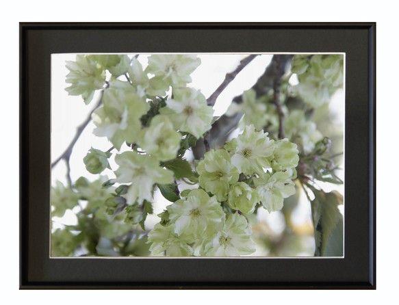 撮影地:新潟市江南区北山公園 ★桜(御衣黄)   2013/5/5撮影御衣黄と言う名前の緑色の桜です身近な所でひっそり咲いている小さな小さな花を撮りました。見...|ハンドメイド、手作り、手仕事品の通販・販売・購入ならCreema。
