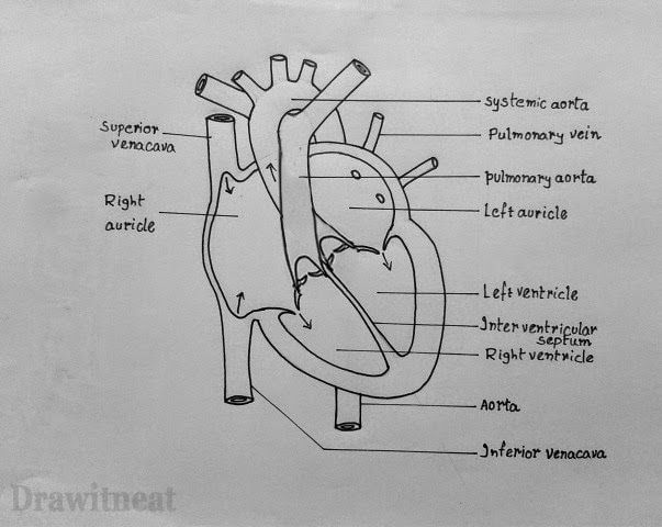 17 best ideas about human heart drawing on pinterest | human heart, Muscles