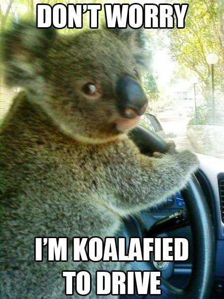 Koalafied to drive --- how I feel every time I'm behind the wheel