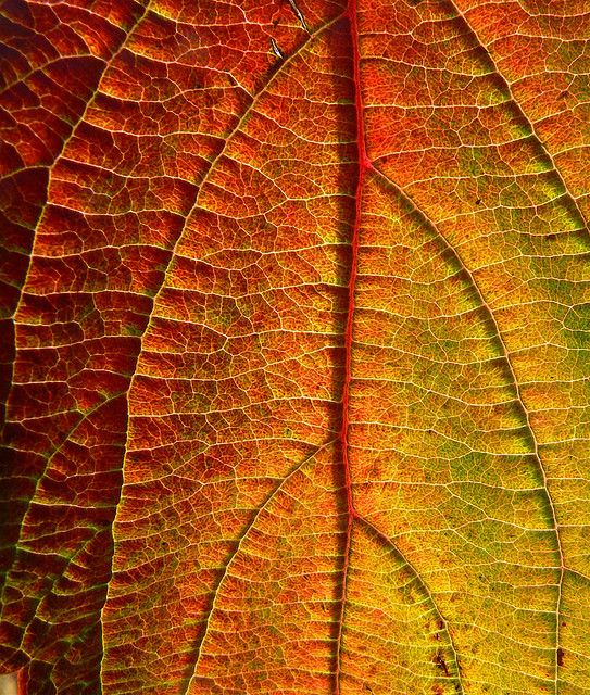 ~~NATURE HAS THE BEST PALETTE ~ leaf veins by Daddy Bucko~~