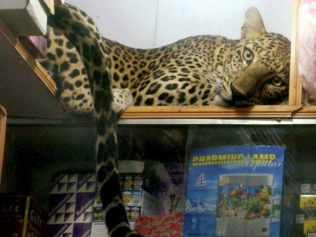 Imagem divulgada neste domingo (8) pela agência de notícias Associated Press mostra exemplar de leopardo descansando em prateleira de uma loja no distrito de Sonepur, em Orissa, na Índia. O felino foi resgatado por agentes ambientais e levado para um zool (Foto: AP)