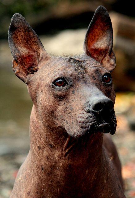 Xoloitzcuintli Names 46 best images about X...