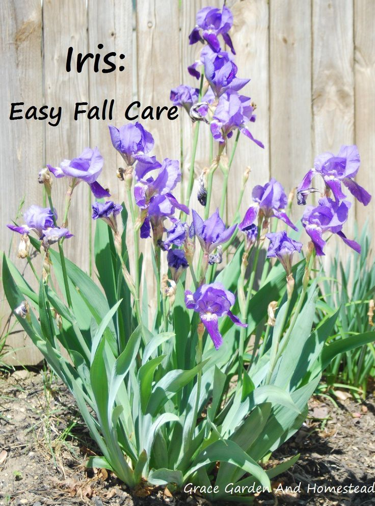 Fall care for your irises. When & how to trim, when & how to divide, and more.