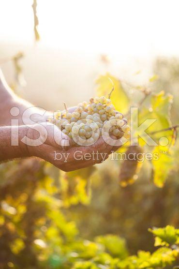 Agriculteurs mains tenant la vendange des raisins – banque photo libre de droits