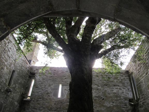 I took this photo in June 2012 in the ruins of Muckross Abbey, Killarney, Ireland. The tree, planted by Franciscan monks almost 600 years ago, is a common yew—used for shrubbery in the U.S.—Richard Gilbert