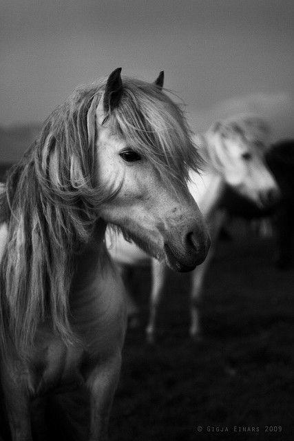 Icelandic Horses - I need to see these soon.  Very soon.