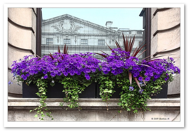 cineraria and ivy