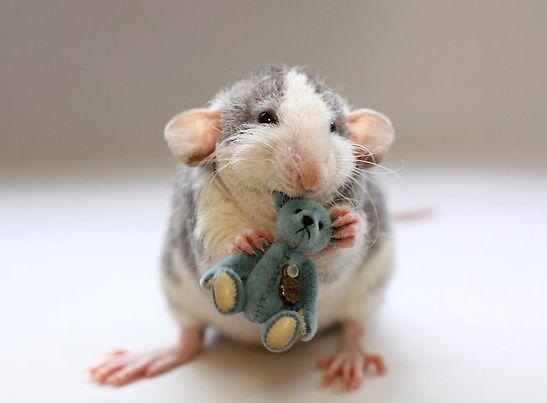 Rats + Creativity + Talent = Cute Photos