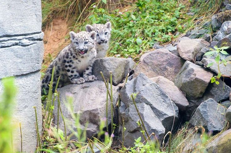 Zoo babies of 2016:     Young snow leopards Anusha and Askar pictured in their enclosure at the zoo in Neunkirchen, Germany, on July 21. German environment minister Barbara Hendricks has taken on the sponsorship of the twin cubs, who were born at the zoo on May 7.