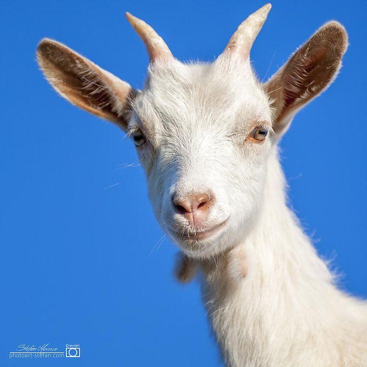 Goat In The Alp by Moresco Stefan