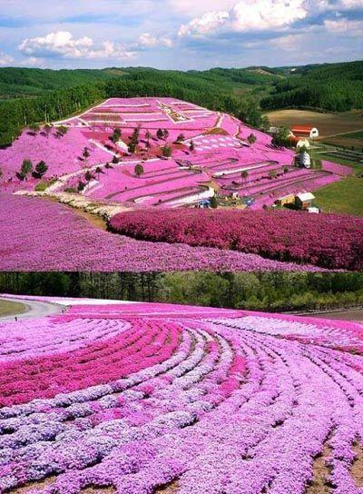 Cerisier du japon fleuri 3