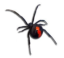 The redback spider (Latrodectus hasseltii) is a dangerous spider endemic to Australia. It is a member of the genus Latrodectus, the widow spiders, which are found throughout the world. The female is easily recognisable by her black body with a prominent red stripe on the back of her abdomen. Females have a body length of about 1cm while the male is smaller, being only 3 to 4 mils long. The redback spider is one of few arachnids which usually display sexual cannibalism wile mating.