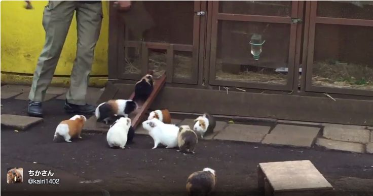 Video on Page - The Guinea Pigs of Ueno Zoo in Tokyo Rush Home When They Hear the Dinner Bell Ringing