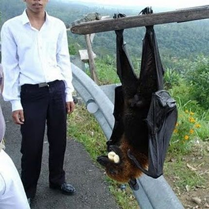 "Referred to as ""The Silent Planter"", giant golden-crowned flying-foxes are known to scatter the seeds of the fruit they eat in their dropping; this makes them vital to the ecosystem of the Philippines' rainforests."