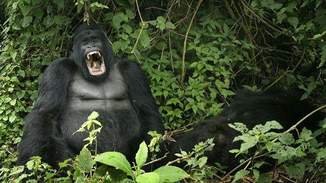 berggorilla
