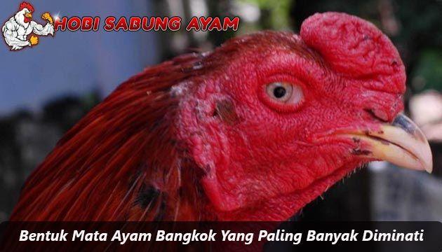 Bentuk Mata Ayam Bangkok Yang Paling Banyak Diminati Sabung Ayam Online