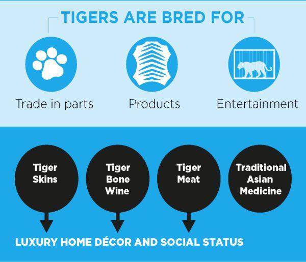 tiger farms, captive breeding, endangered species, illegal wildlife trade