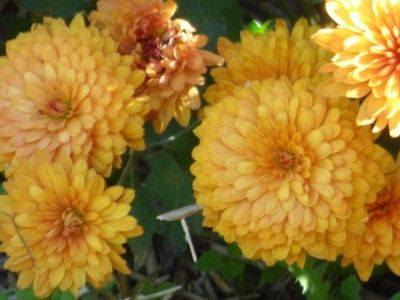 Chrysanthemum Information: Annual vs. Perennial Chrysanthemums - Whether your Chrysanthemum will come back after winter depends upon which species you have. If you aren't sure which one you purchased, the best thing is to wait until next spring and check for regrowth. Click this article for more info.