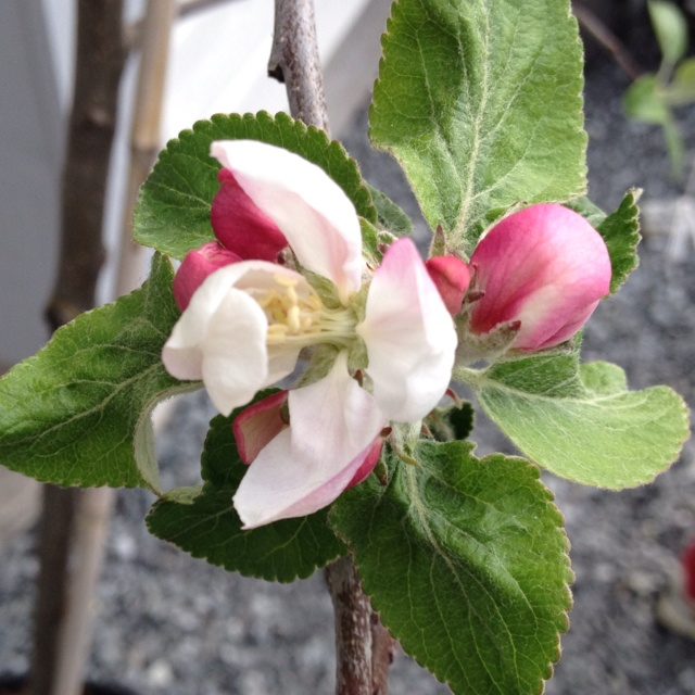 Our appletree is blooming.
