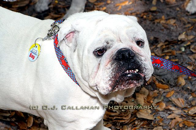 Share About British Bulldog Puppies English Bulldog Rescue Love