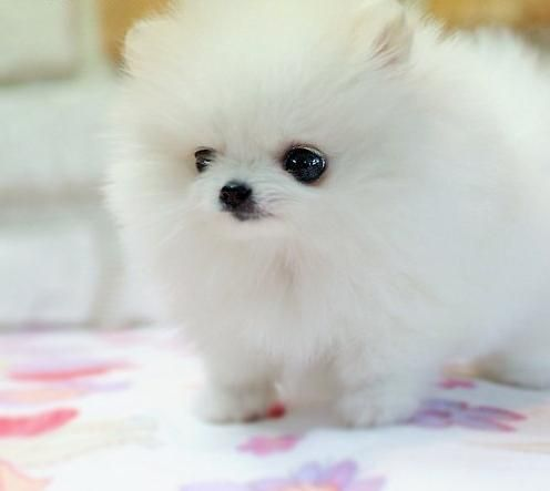 76 best images about Just Pomeranian Puppy Pics on Pinterest ...