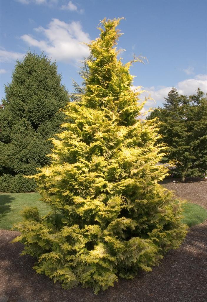 goldilocks hinoki false cypress 15m x 10m  slow growing evergreen with bright yellow lemon